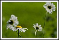2106_0639 Margeriten tanzen im Sommerwind