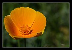 2106_0652  in der Wildblumenwiese