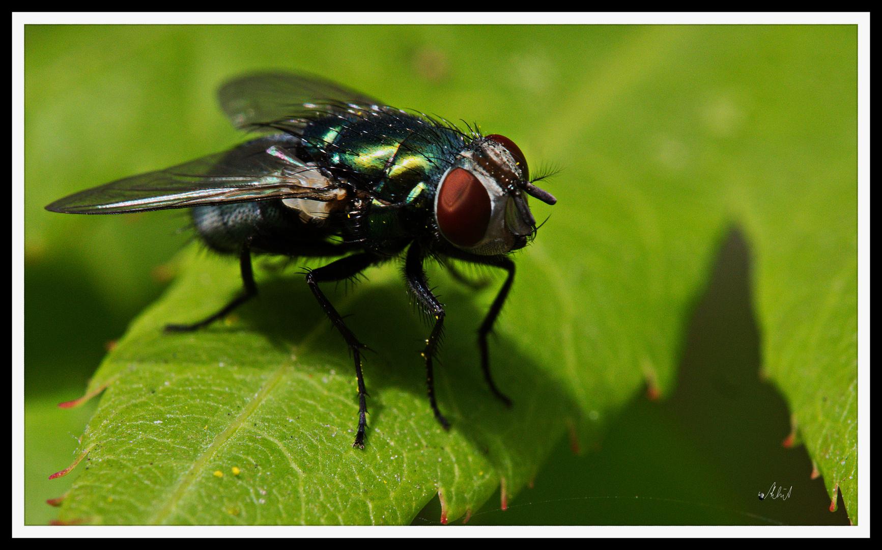 2107_0019 Die Fliege