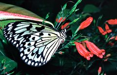223....papillon
