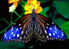 243....papillon