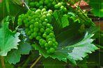 246-13 Die Trauben wachsen