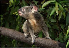 26. Dezember: Knuddle a Koala!