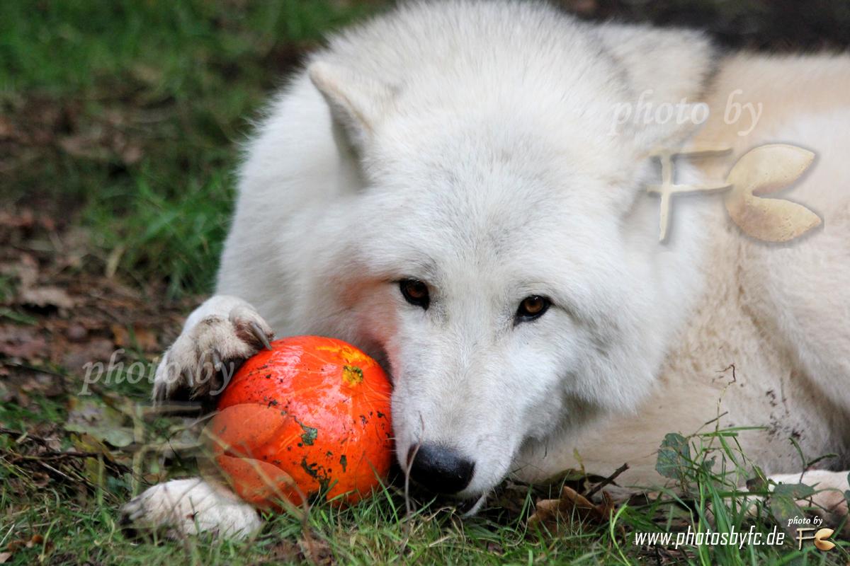 26.10.13 - HALLOWEEN WOLFSHEULNACHT IM WILDPARK HANAU KLEIN-AUHEIM AM 26.10.2013