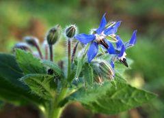 27. Dezember - zwischen den Rebenzeilen blühen jetzt Gründüngepflanzen wie Borretsch