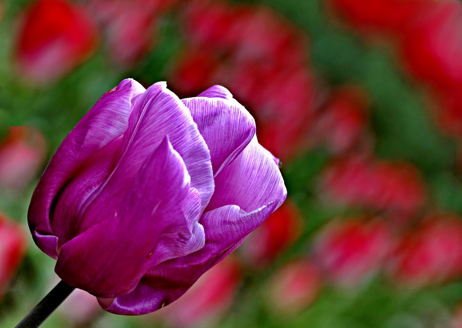 2839....tulipes
