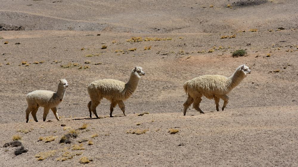 3 Alpakas