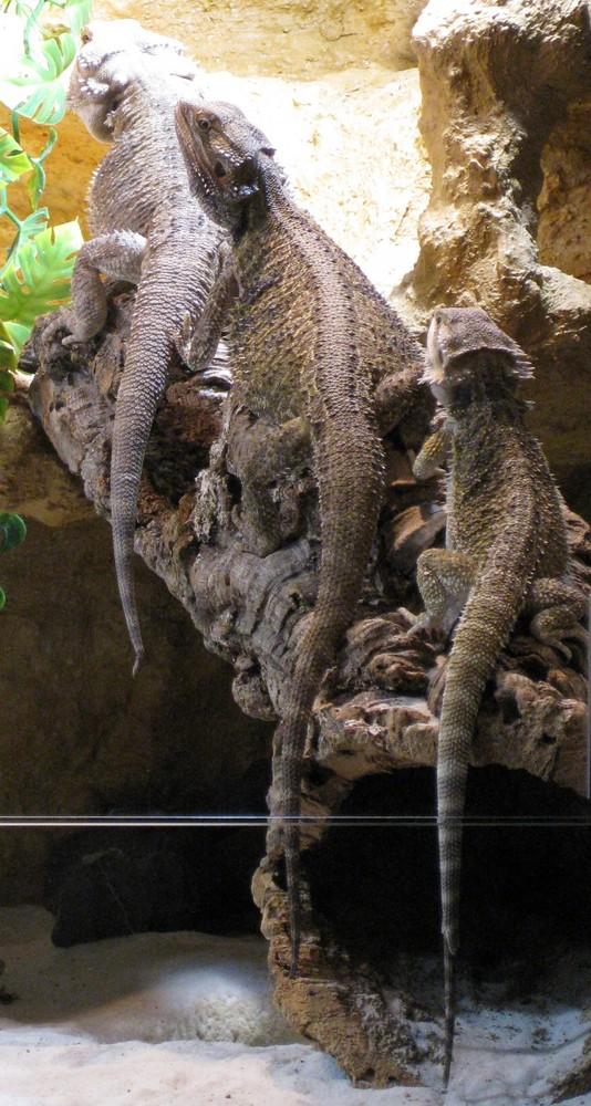 3 Barded Dragons in einer Reihe