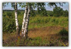 3 Birken in der Heide
