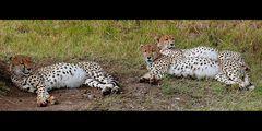 3 Cheetah (Acinonyx jubatus)