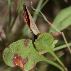(3) Der Kleine Feuerfalter (Lycaena phlaeas) und seine Eiablage