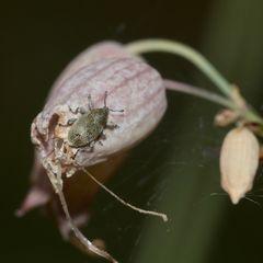 (3) Der Pechnelkenrüßler (Sibinia viscariae) - ...