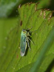 (3) Die Binsen-Schmuckzikade (Cicadella viridis)