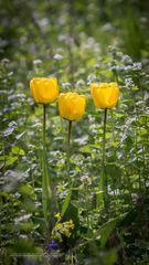 3 einsame Tulpen