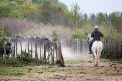 3 Gardians qui cherchent à séparer 4 taureaux du troupeau