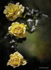 3 gelbe Rosen im Rosengarten Beutig Juli 2020