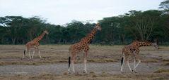 3 Giraffen, Kenia