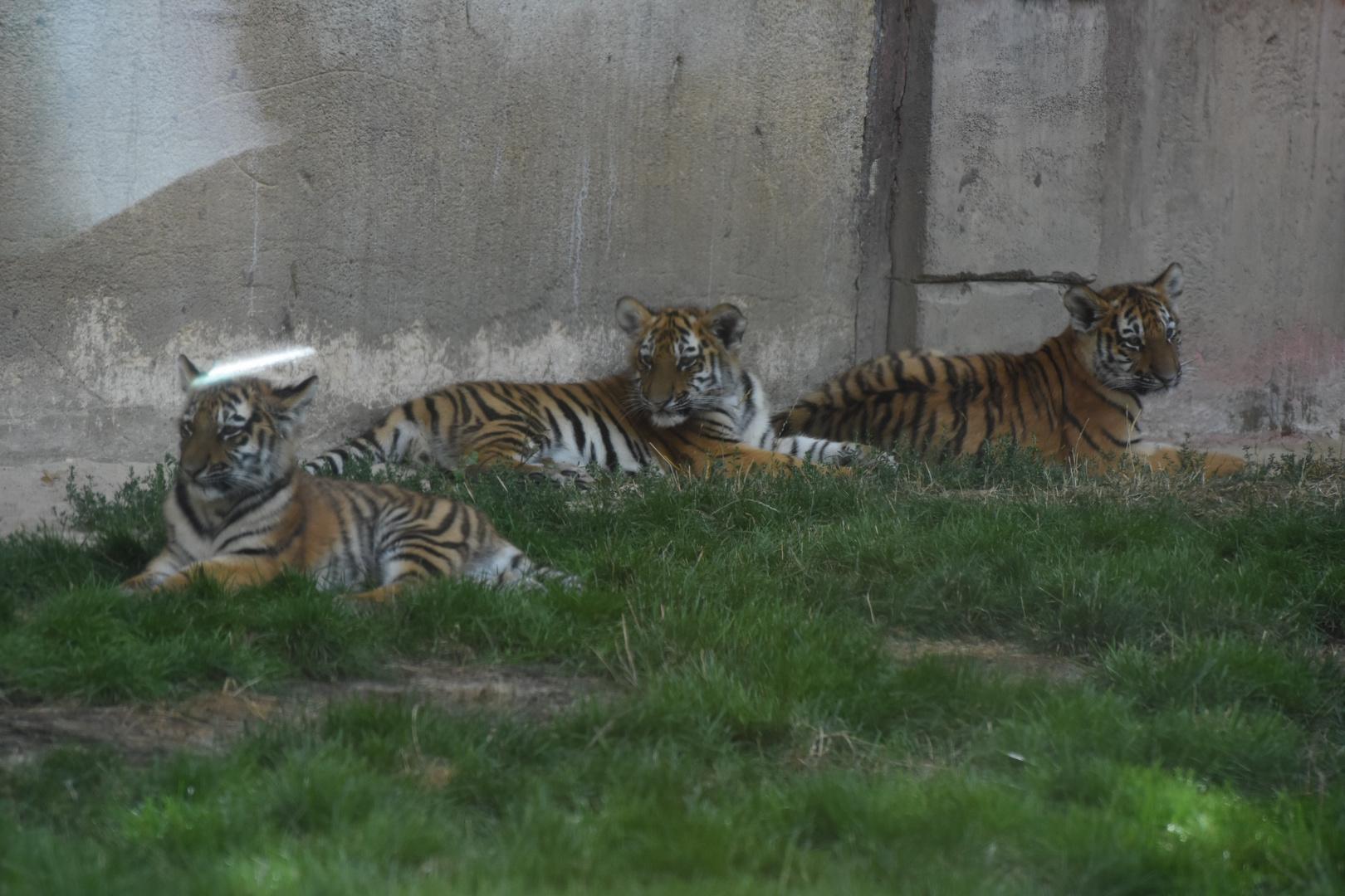 3 kleine junge Tiger