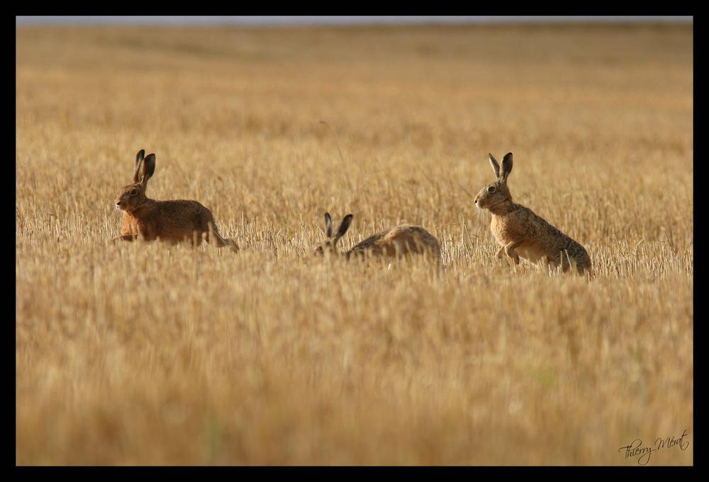 3 lièvres sur une même photo