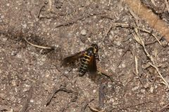 (3) LOMATIA LATERALIS - ein seltener Schweber (Fam. Bombyliidae), ...