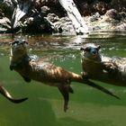 3 Otter