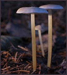 3 Pilze (Teil 2)