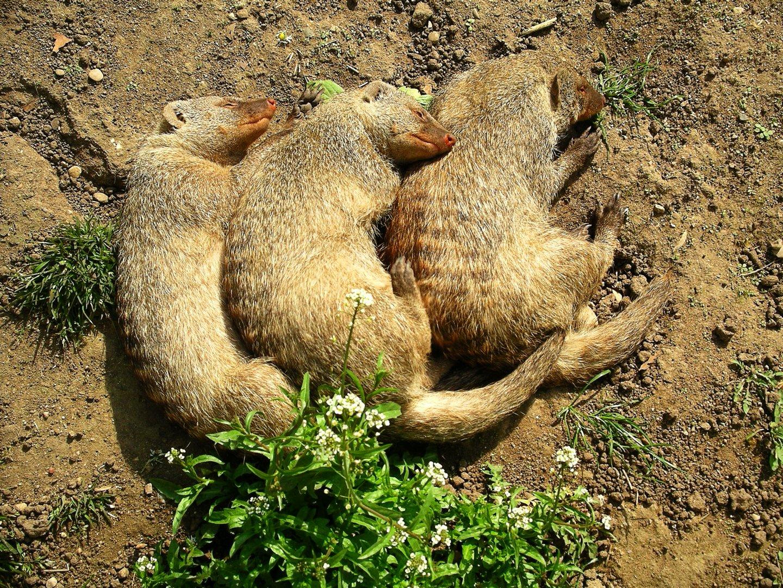 3 schlafende Erdhörnchen