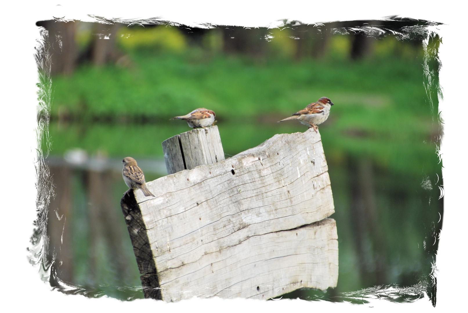 3 Spatzen auf einen Holzschild
