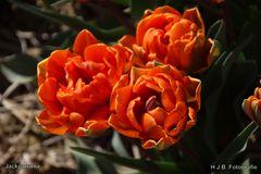 3 Tulpen auf einmal