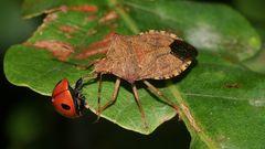 (3) Wanzen als Feinde der Marienkäfer