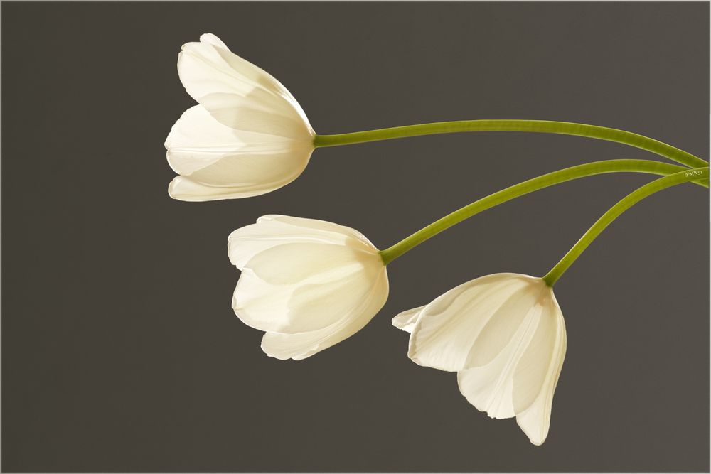 3 weiße Tulpen