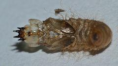 (3) Zwei Puppenhüllen = Exuvien des Trauerschwebers Anthrax anthrax ...