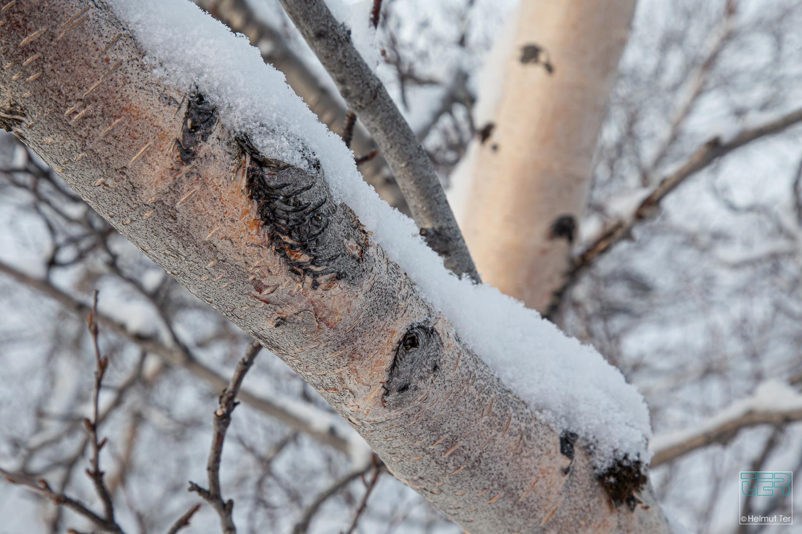 #3372 Winterbirke