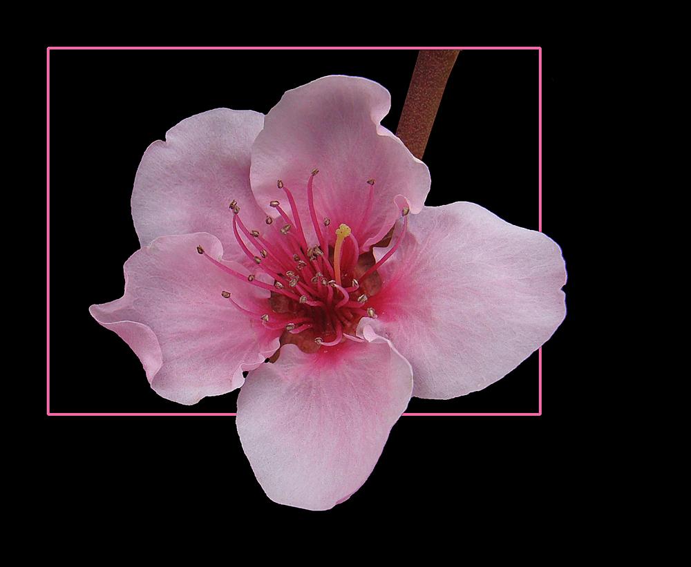 369 Fiore Di Pesco Foto Immagini Piante Fiori E Funghi Fiori