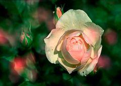37....Rose