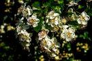 Blüten am frühen Morgen von Peter Kornaker