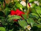 3x R - Rot, Rosen und Regen