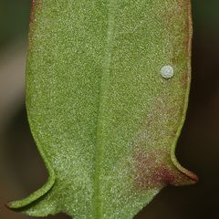 (4) Der Kleine Feuerfalter (Lycaena phlaeas) und seine Eiablage