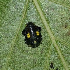 (4) Der Sechzehnfleck-Marienkäfer (Halyzia sedecimguttata)