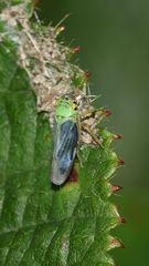(4) Die Binsen-Schmuckzikade (Cicadella viridis)