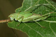 (4) Die Gemeine Sichelschrecke (Phaneroptera falcata)