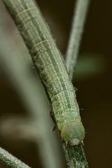 (4) Die Raupe des Ringfleck-Rindenspanners (Cleora cinctaria)