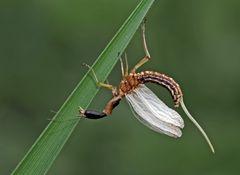 4. Kamelhalsfliege (Raphidia sp.): Metamorphose! Aufnahme 13 Minuten nach dem 1. Foto.