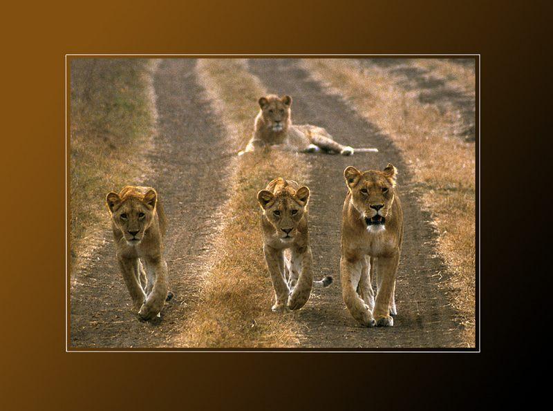 4 Löwen