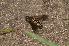 (4) LOMATIA LATERALIS - ein seltener Schweber (Fam. Bombyliidae), ...