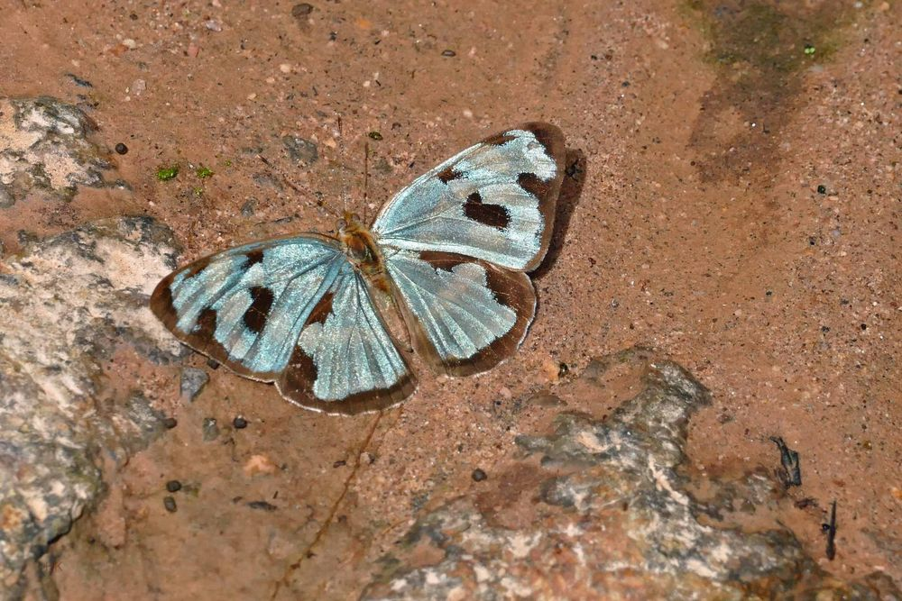 4-spot Green Sailor , Dynamine postverta