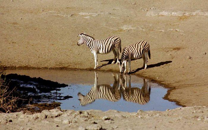 4 Zebras