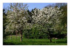 (42) Kirschblüte