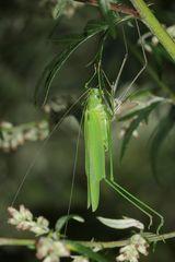 (5) Die Gemeine Sichelschrecke (Phaneroptera falcata)