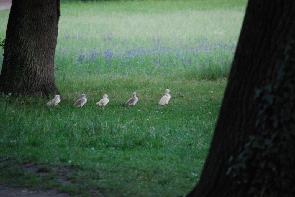 5 junge Schwäne im Stechschritt